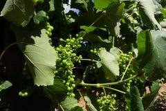 L'Ungheria - mazzi di acini d'uva bianchi Tokaj Fotografia Stock Libera da Diritti