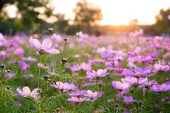 L'universo in piena fioritura al sole Immagini Stock