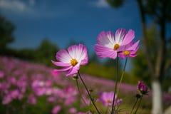 L'universo in piena fioritura al sole Fotografie Stock