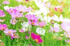 L'universo rosa e bianco fiorisce in giardino, bello fiore Fotografie Stock Libere da Diritti