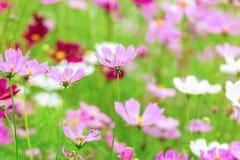 L'universo rosa e bianco fiorisce in giardino, bello fiore Fotografia Stock