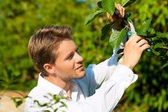 L'uomo è albero da frutto di taglio con il regolatore Fotografia Stock