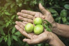 L'uomo anziano tailandese che tiene il limone verde da due mani con il limone verde lascia il fondo Immagine Stock Libera da Diritti