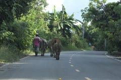 L'uomo cammina bufalo d'acqua Fotografia Stock