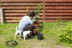 L'uomo con il cane pianta una ciliegia in giardino Immagine Stock Libera da Diritti