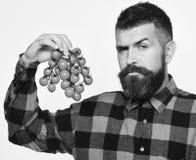 L'uomo con la barba giudica le bacche del pomodoro isolate su fondo bianco Fotografie Stock Libere da Diritti