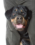 L'uomo con un Rottweiler in studio. Immagine Stock