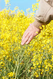 L'uomo consegna il giacimento di fioritura del seme di ravizzone Fotografie Stock Libere da Diritti