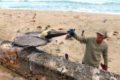 L'uomo cubano alimenta i pellicani sulla spiaggia Immagine Stock Libera da Diritti