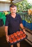 L'uomo dell'agricoltore di medio evo raccoglie i pomodori ciliegia con le forbici raccoglie pronto in scatole da vendere nell'aff Immagine Stock
