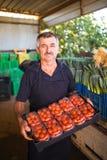 L'uomo dell'agricoltore di medio evo raccoglie i pomodori ciliegia con le forbici raccoglie pronto in scatole da vendere nell'aff Fotografia Stock