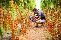 L'uomo dell'agricoltore raccoglie i pomodori ciliegia con le forbici raccoglie nell'affare di famiglia della serra Fotografie Stock