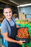 L'uomo dell'agricoltore raccoglie i pomodori ciliegia con le forbici raccoglie in scatole di legno nell'affare di famiglia della  Immagine Stock