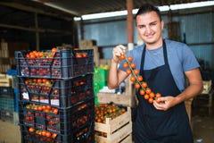 L'uomo dell'agricoltore raccoglie i pomodori ciliegia con le forbici raccoglie in scatole di legno nell'affare di famiglia della  Fotografia Stock