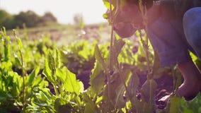 L'uomo dell'agricoltore strappa l'acetosa dai letti e raccoglie le foglie in un mazzo stock footage