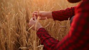 L'uomo dell'agronomo passa le orecchie di specie e della tenuta fuori di grano vicino nel campo dorato L'agricoltore felice contr archivi video