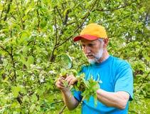 L'uomo esamina un ramo di di melo alla ricerca dei parassiti Fotografie Stock Libere da Diritti