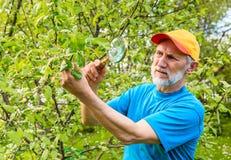 L'uomo esamina un ramo di di melo alla ricerca dei parassiti Fotografia Stock Libera da Diritti