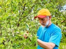 L'uomo esamina un ramo di di melo alla ricerca dei parassiti Fotografia Stock