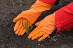 L'uomo in guanti di gomma arancio prende la cura di giovane germoglio verde Nuovo concetto di vita Immagini Stock Libere da Diritti