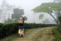 L'uomo ha fatto le piantagioni del paesaggio-tè Immagini Stock