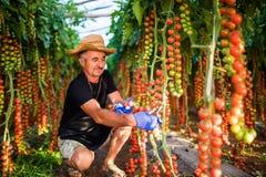 L'uomo maturo in pomodori ciliegia della tenuta della serra raccoglie alla macchina fotografica in serra Fotografie Stock