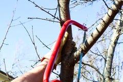 L'uomo nei guanti del lavoro facendo uso di piccola mano ha visto per potare una sega dell'albero da frutto nel moto e la segatur Immagine Stock