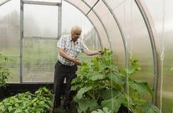 L'uomo nel paese mostra le piantine del cetriolo della serra Immagine Stock