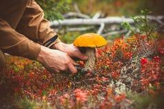 L'uomo passa a fungo di raccolto il boletus arancio del cappuccio Fotografia Stock