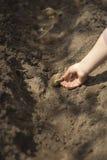 L'uomo pianta le patate in primavera Canestro con le patate da semi ed il concime Atterraggio delle patate Fotografia Stock Libera da Diritti