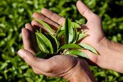 L'uomo raccoglie a mano la foglia di tè Immagini Stock Libere da Diritti