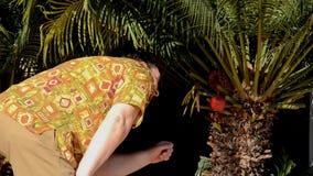 L'uomo scopre la mela rossa appendere su una palma stock footage