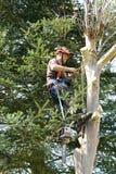 L'uomo si è agganciato nell'albero di abbattimento Fotografia Stock