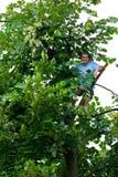 L'uomo si è arrampicato in un albero di tilia Immagine Stock