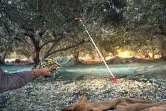 L'uomo tiene alcune delle olive fresche raccolte in un campo in Creta, Grecia per produzione di petrolio di olio d'oliva, facendo Fotografie Stock