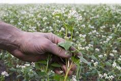 L'uomo tiene il gambo del fiore del grano saraceno sul campo Fotografia Stock Libera da Diritti