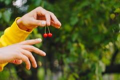 L'uomo tiene nelle sue ciliege della mano due per un ramoscello sui precedenti degli alberi nel parco e nell'erba verde Giorno so immagine stock