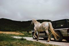 L'uomo trasporta un cavallo con un'automobile fotografia stock