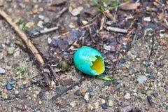 L'uovo di Robin rotto dell'americano (migratorius del Turdus) Fotografia Stock