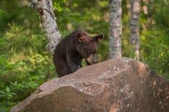 L'Ursus CUB américanus d'ours noir apprécie des baies placé sur la roche Photo stock