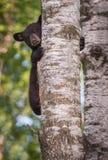 L'Ursus CUB américanus d'ours noir scrute autour du tronc Photos stock