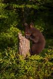 L'ursus dell'orso nero americanus foraggia in ceppo Immagini Stock