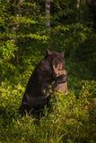 L'ursus dell'orso nero della femmina adulta americanus foraggia in ceppo Immagini Stock Libere da Diritti