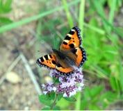 L'urticaria de papillon se reposant sur le champ fleurit en plan rapproché de jour d'été Images libres de droits