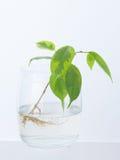 L'usine avec des racines est dans le pot en verre, vase Sur un fond blanc Photo libre de droits