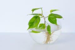 L'usine avec des racines est dans le pot en verre, vase Sur un fond blanc Photos libres de droits