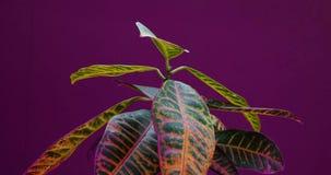L'usine de Codiaeum s'élevant, laps de temps de croissance de plantes, soulèvent des feuilles, germination, été de printemps, con banque de vidéos