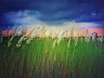 L'usine de kash ou l'herbe blanche de kans a fleuri parmi les champs verts avec les nuages rouges et bleus en ciel images stock