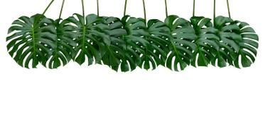 L'usine de Monstera part, la vigne à feuilles persistantes tropicale d'isolement sur le fond blanc, chemin photos stock