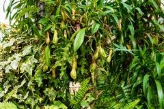L'usine de Nepenthes, singe met en forme de tasse la plante tropicale, usines dangereuses Photo libre de droits